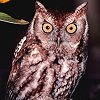 Eastern Screech-Owl Photo