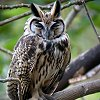 Striped Owl Photo