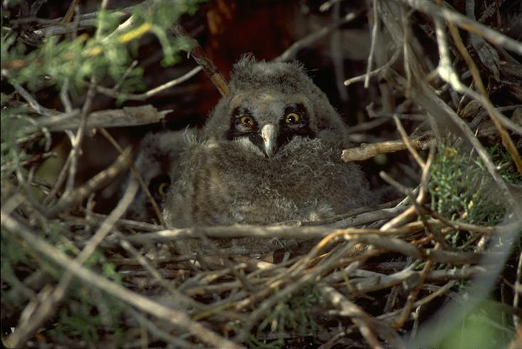 Long-eared Owl by Don Baccus� 1981
