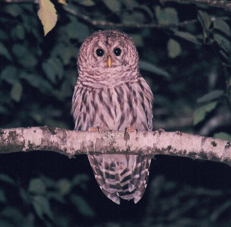 Barred Owl by Dan Lockshaw � 2002