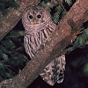 Barred Owl Photo
