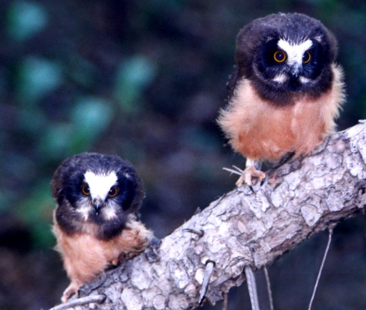 Northern Saw-whet Owlets