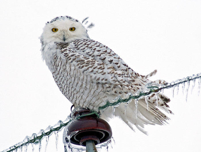 Snowy Owl by Norman Smith © 2005