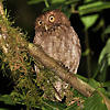 Vermiculated Screech-Owl Photo