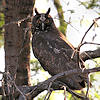 Stygian Owl Photo