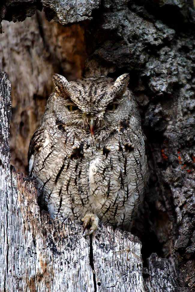 Western Screech-Owl Photo