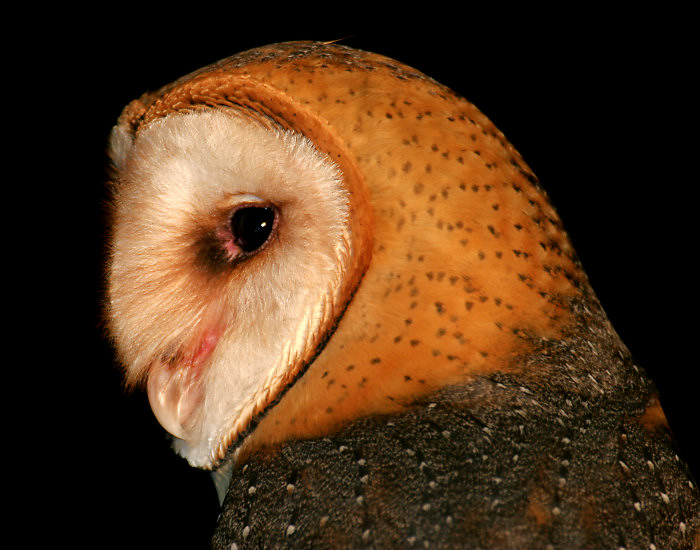 Barn Owl by Dan Lockshaw � 2000