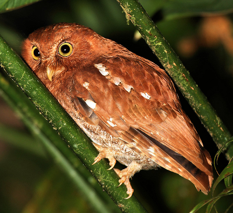 Vermiculated Screech-Owl