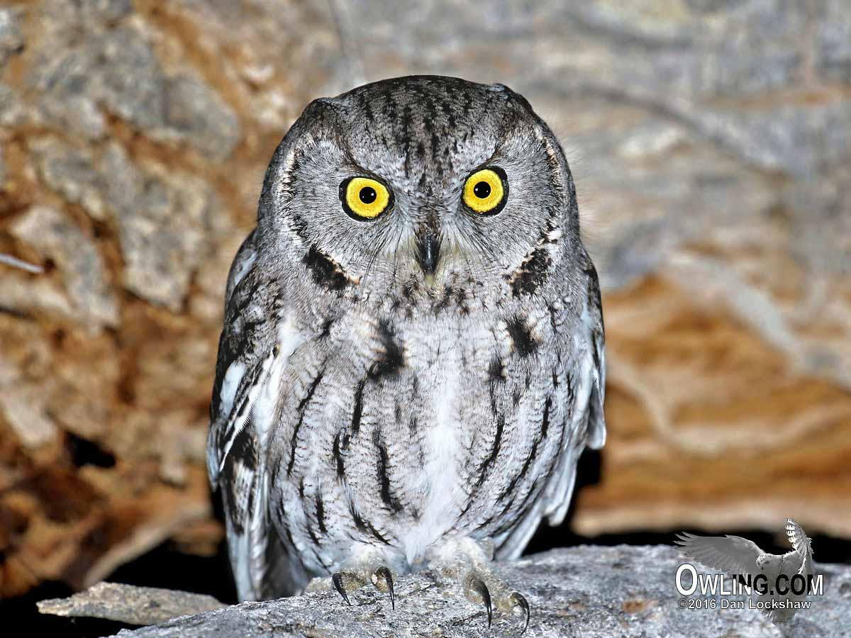Western Screech Owl - Owling.com
